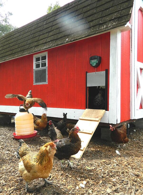 Lisa's chickens love the chicksafe advance door opener