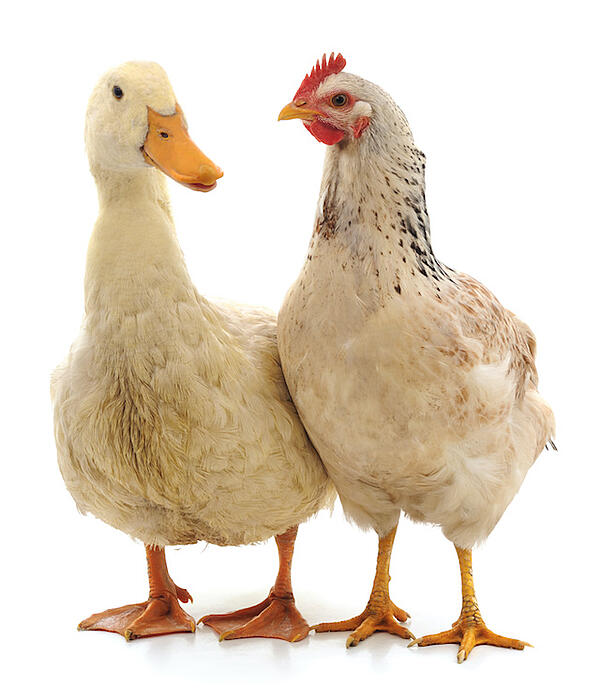 duck and chicken