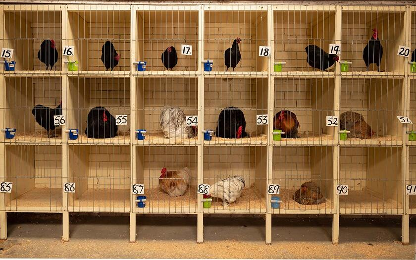 Poultry on display at a chicken show
