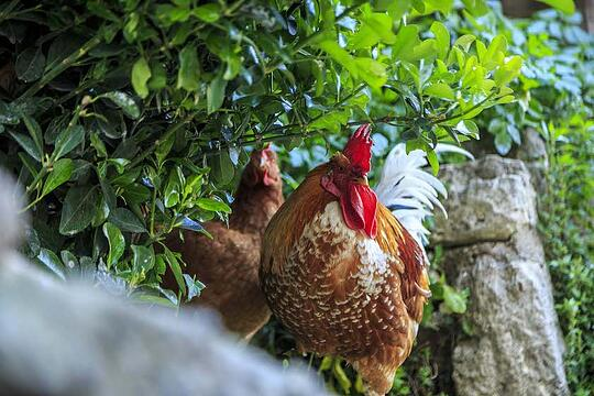 chickens on stone fence