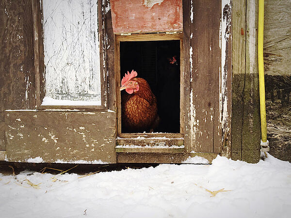 chicken looking out