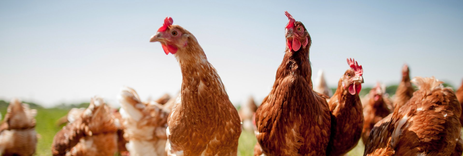 Chickens Good Citizens