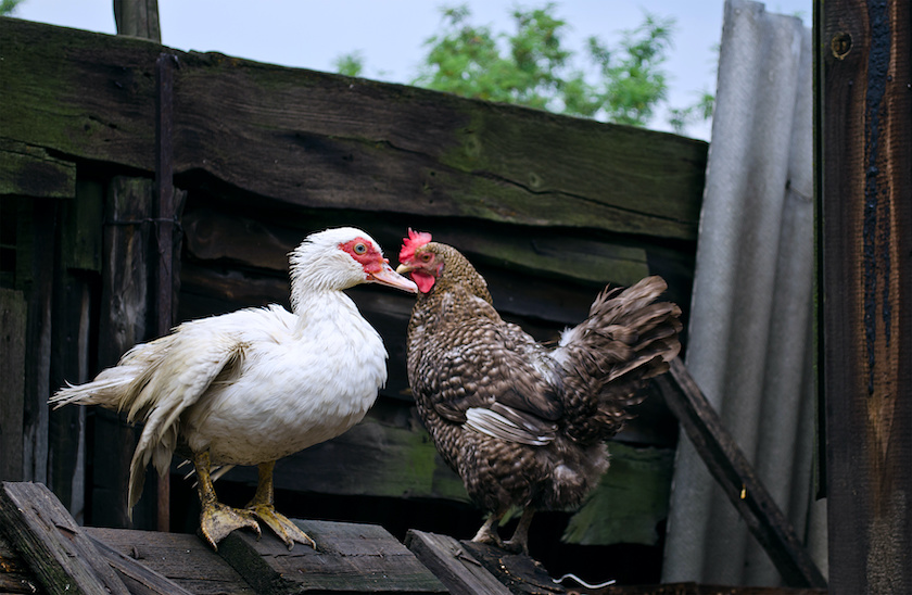muscovy and red