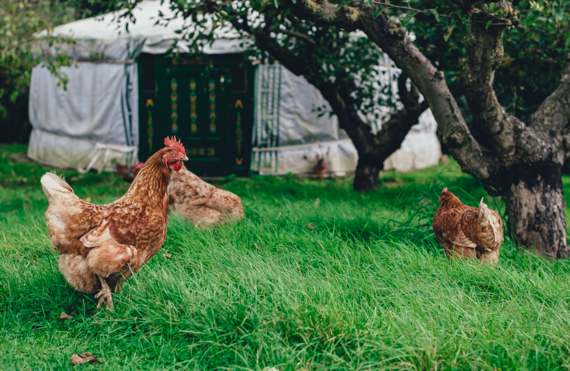 backyard-chickens-environmental-stewardship