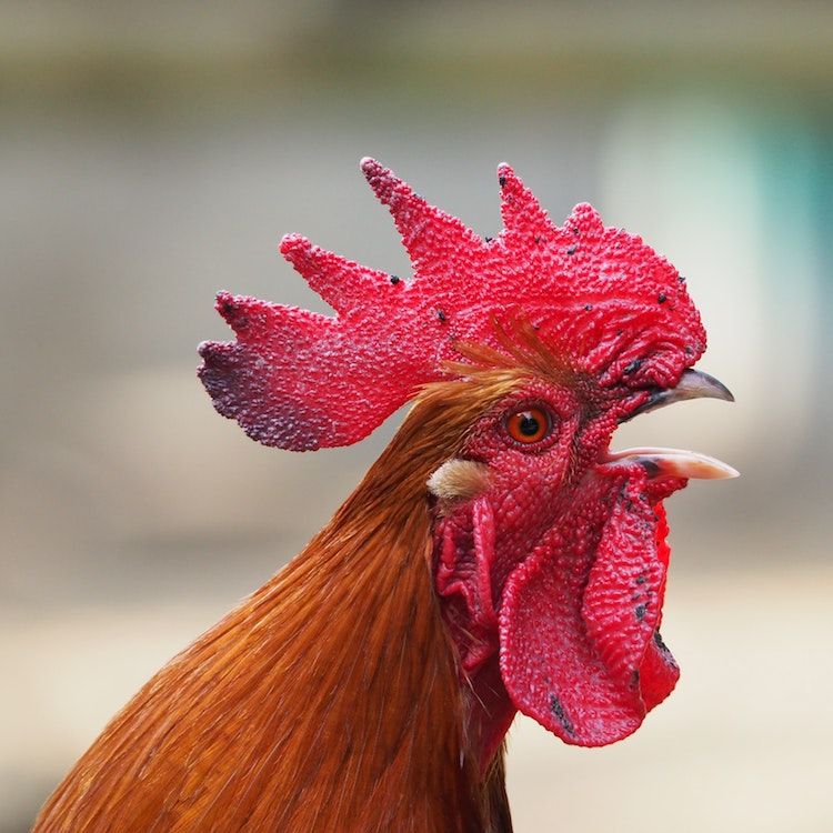 animal-chicken-cockscomb-34770.jpg