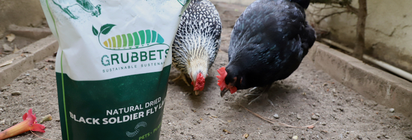 Hens love Grubbets